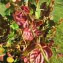 Hydrangea winter surprise