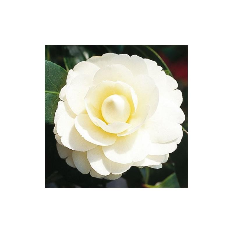 Camellia japonica dahlonega