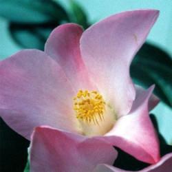 Camellia japonica tulip time