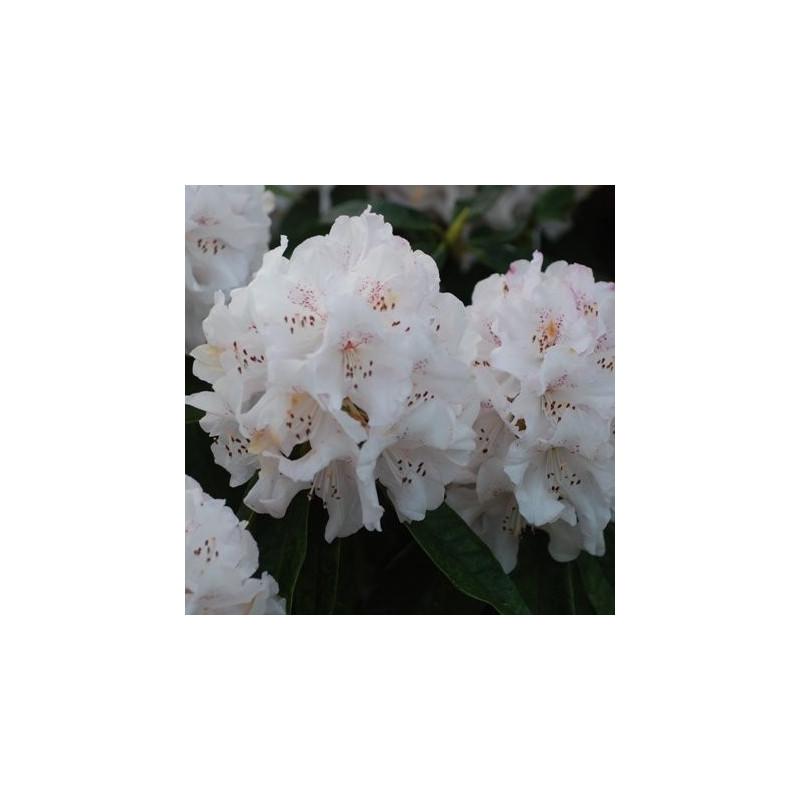 Rhododendron boddaertianum