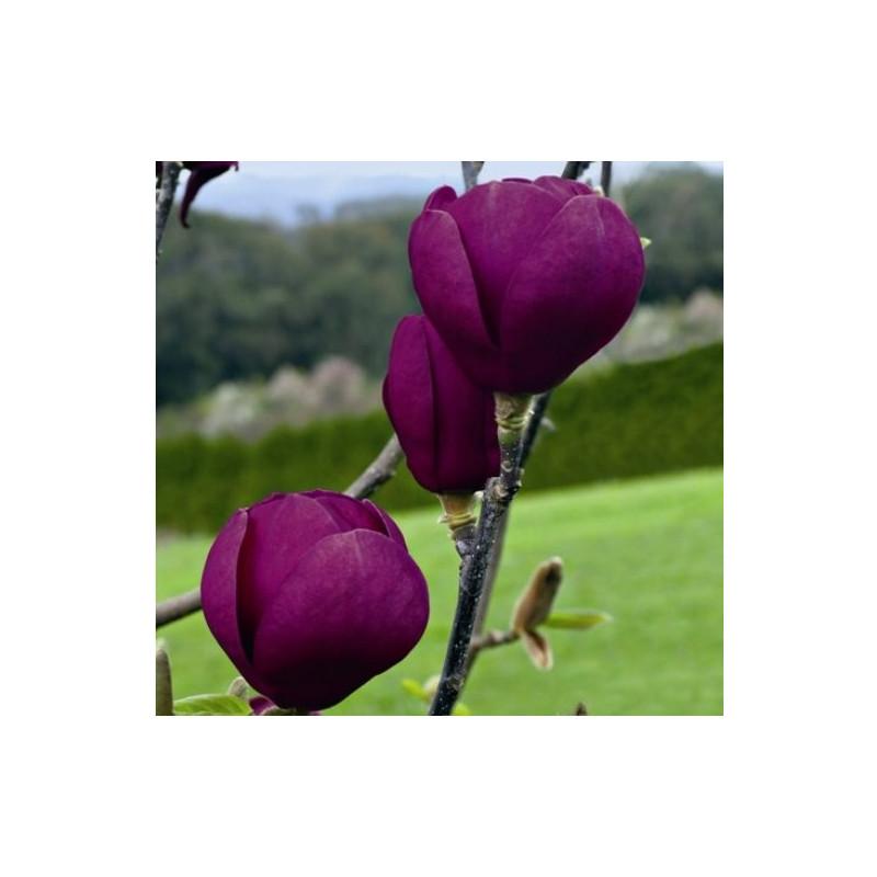 Magnolia black tulip®