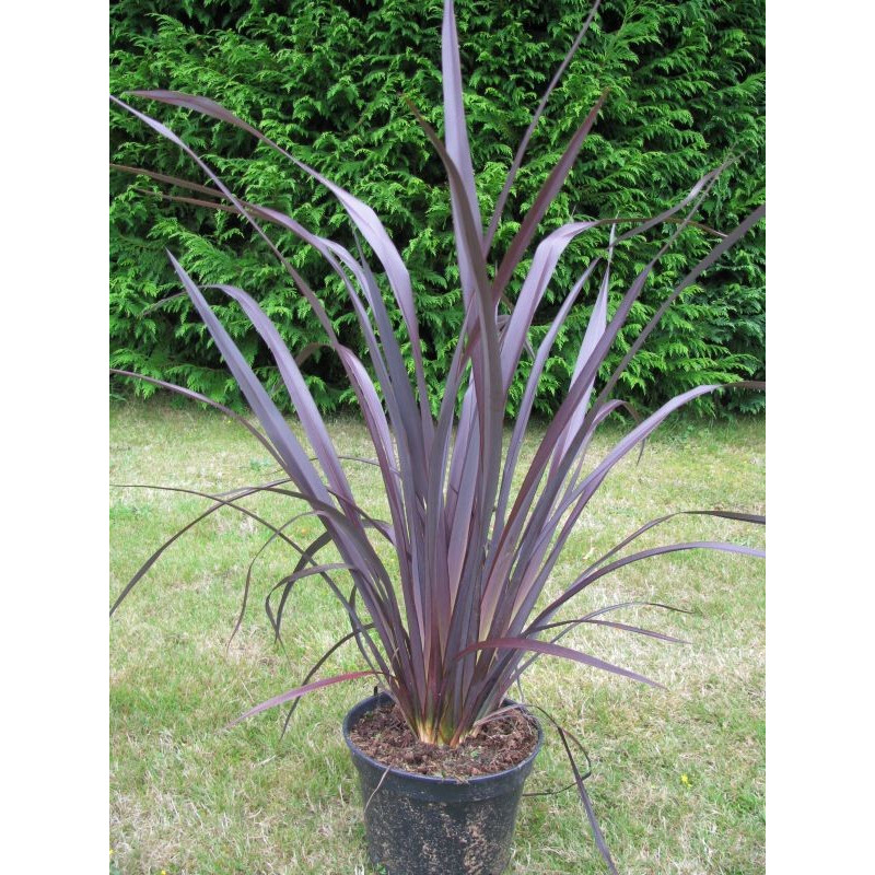 Phormium tenax 'all black'