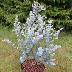 Eucalyptus Azura®