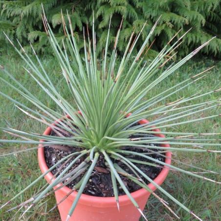 Agave striata green form