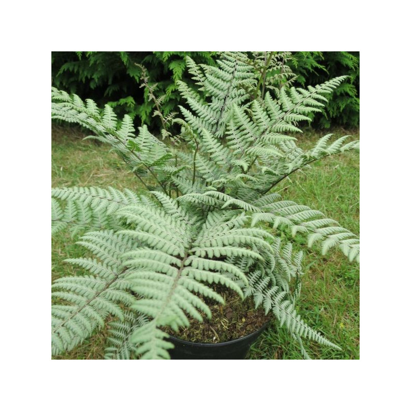 Athyrium Ursula's red