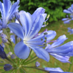 Agapanthus sunfield