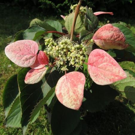 Schizophragma rose sensation®