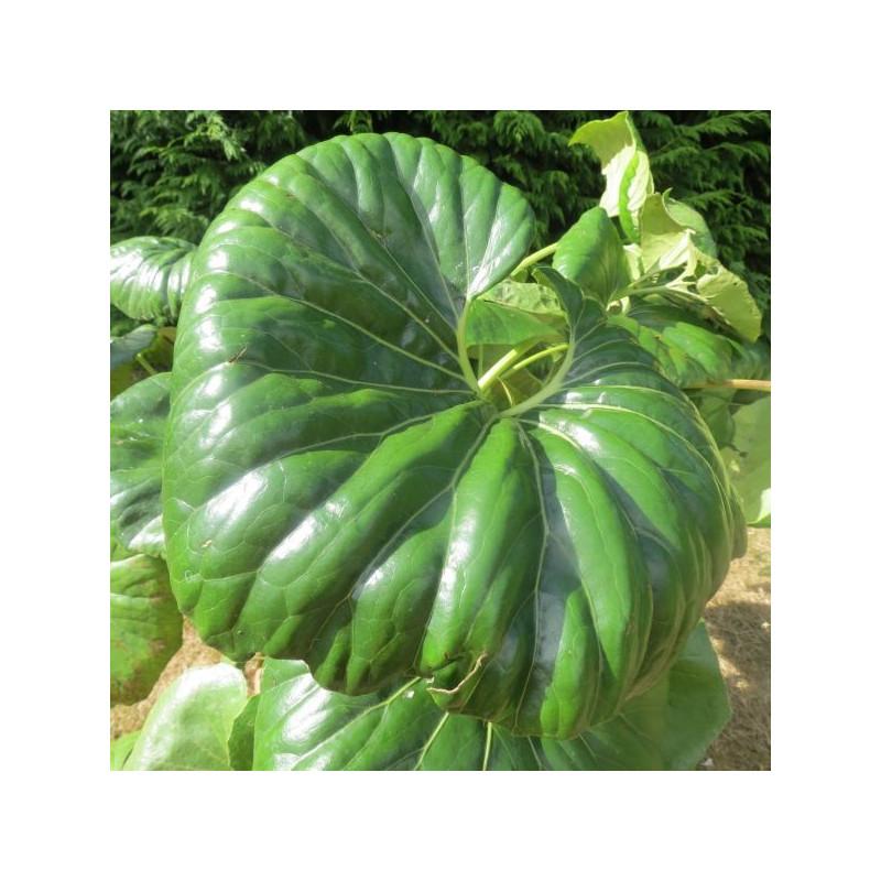 Farfugium japonicum giganteum