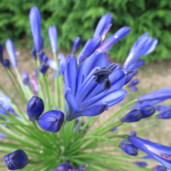 Agapanthus northern star®