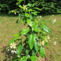 Trachelospermum Christabel Bielenberg