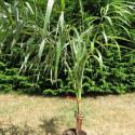 Allagoptera arenaria