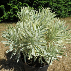 Euphorbia Tasmanian tiger®