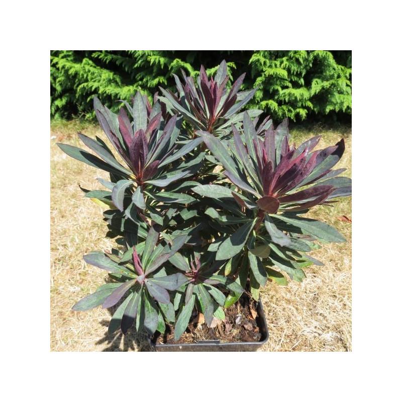 Euphorbia black bird®