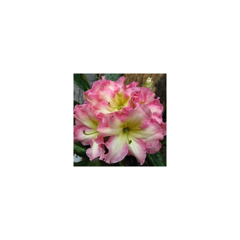 Rhododendron Melrose flash