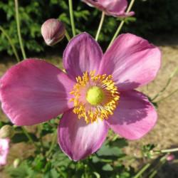Anemone pretty lady Susan®