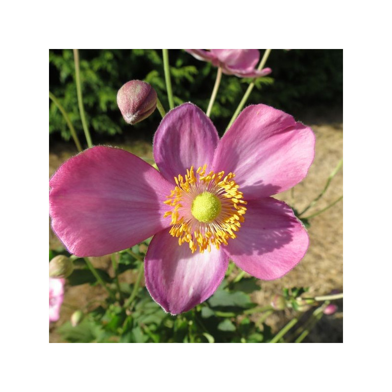 Anemone pretty lady Susan®
