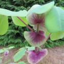 Amicia zygomeris