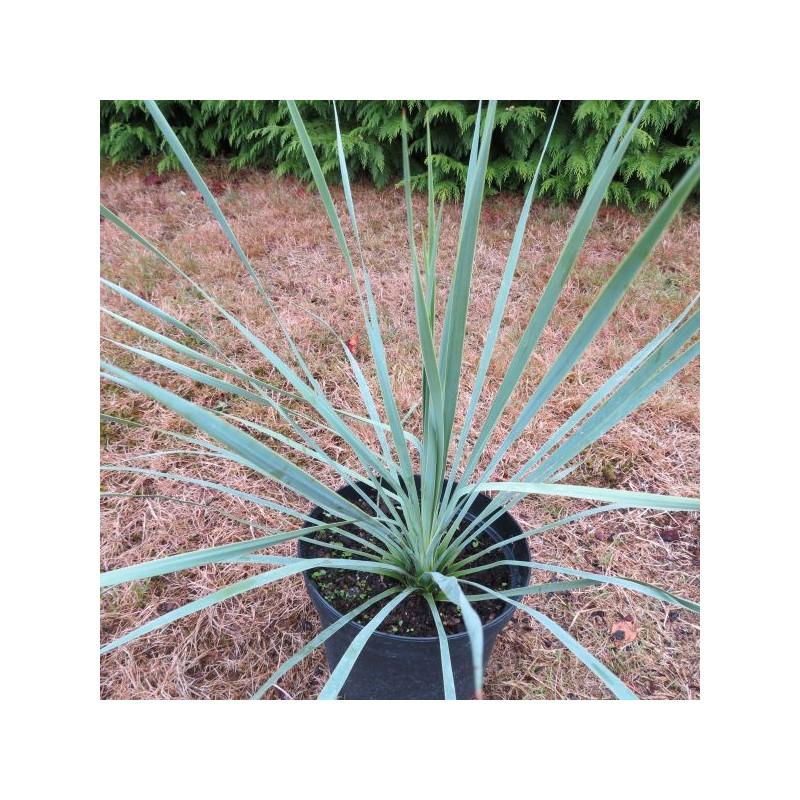 Yucca rostrata sapphire skies