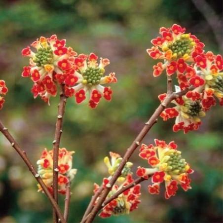 Edgeworthia akabana