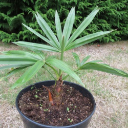Trachycarpus geminisectus