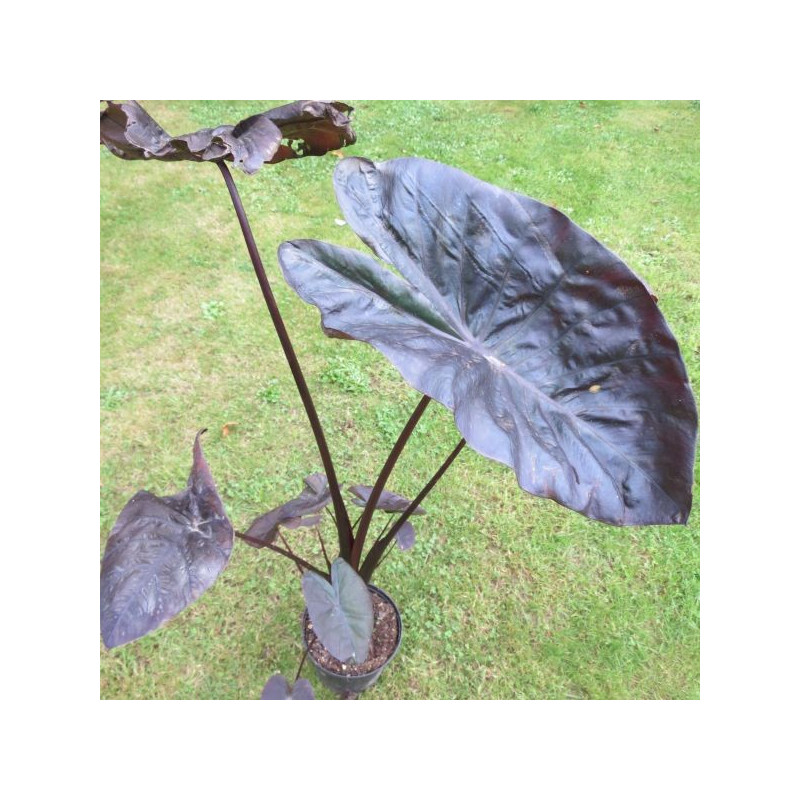 Colocasia black coral®