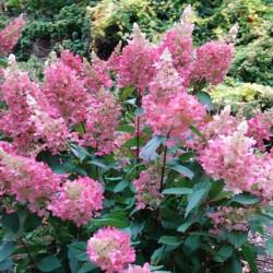 Hydrangea pinky winky®