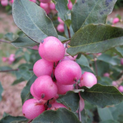 Symphoricarpos magical® candy