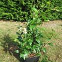 Trachelospermum mandanianum
