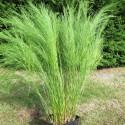 Baloksion tetraphyllum