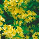 Azalea narcissiflora