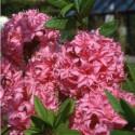Azalea homebush