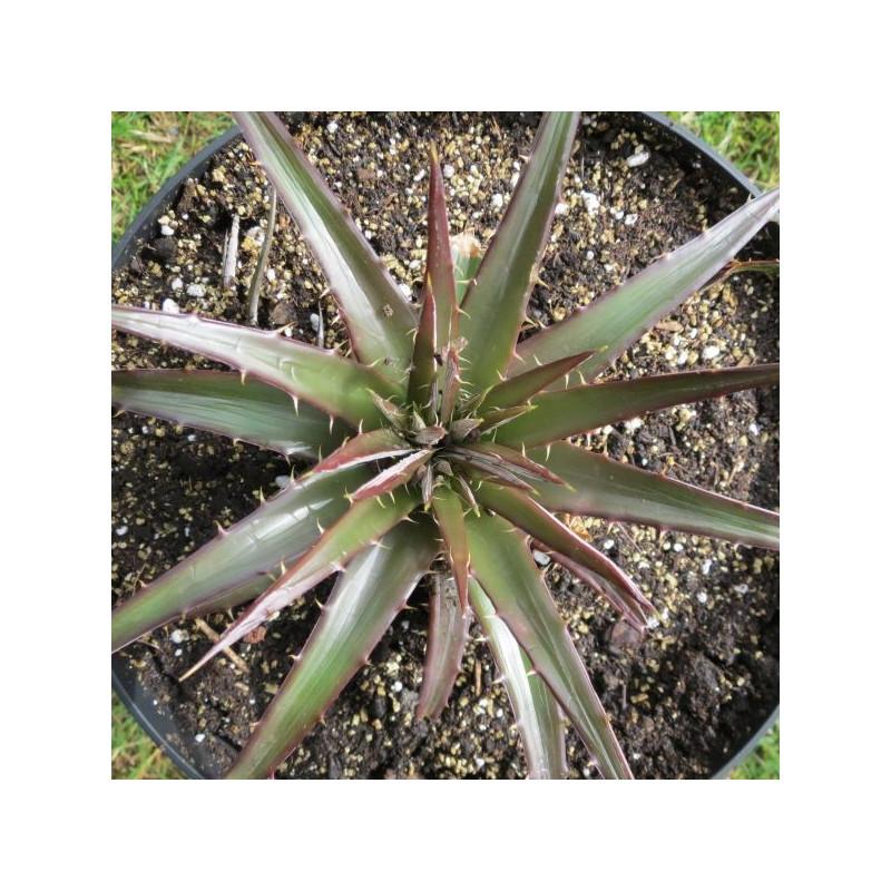 Hechtia sp. miathautlan