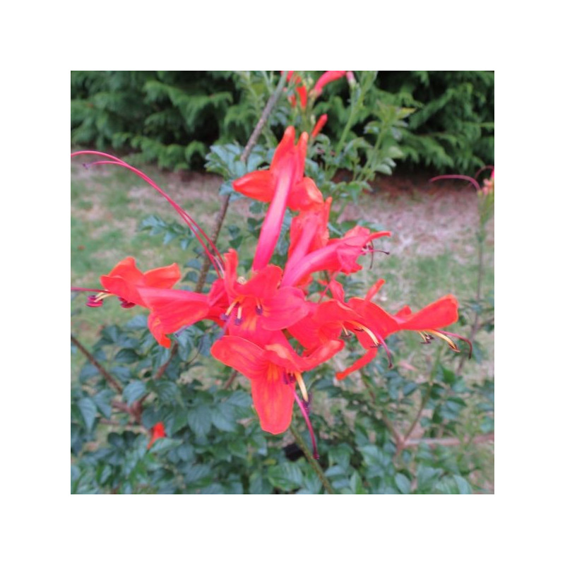 Tecomaria capensis rouge