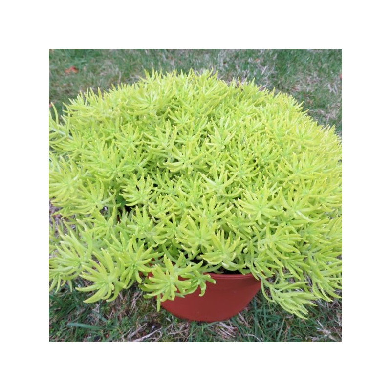 Sedum lemon ball