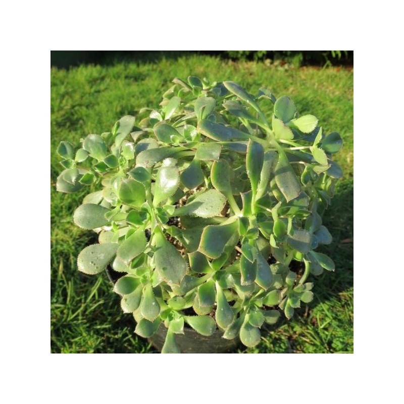 Aeonium cyrico