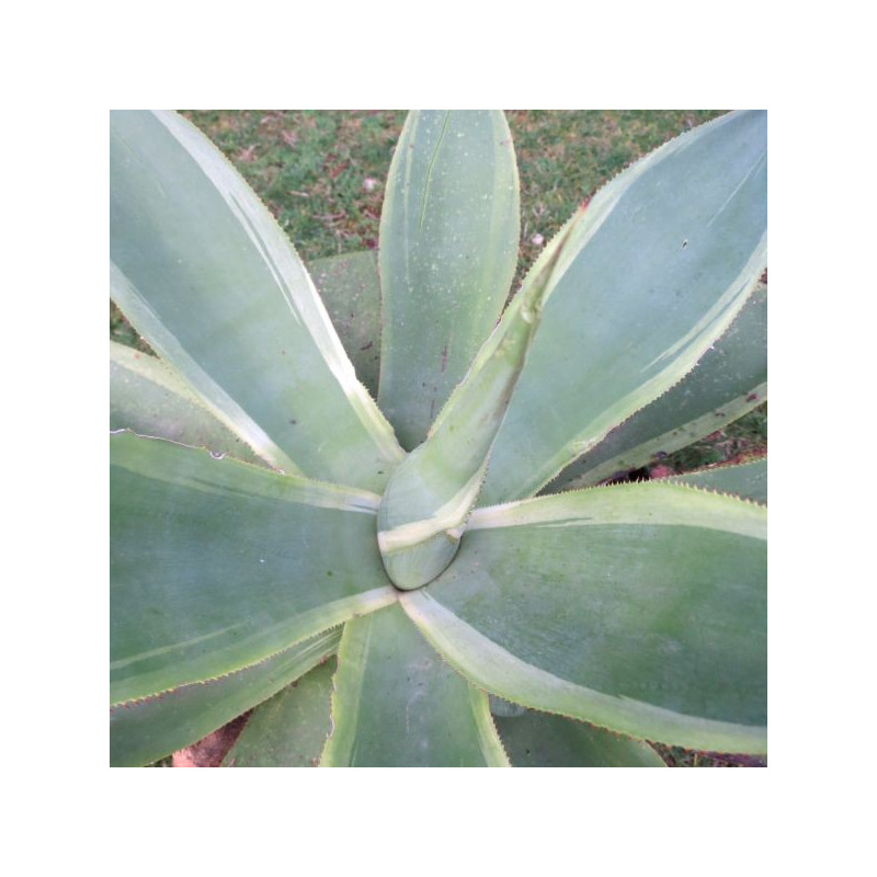 Agave celsii variegata