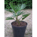 Trachycarpus wagnerianus 4 litres