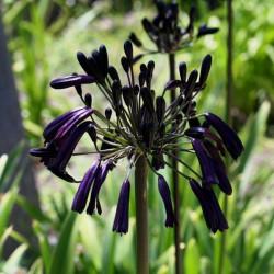 Agapanthus black magic