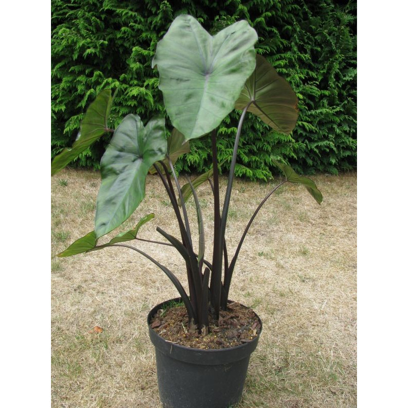 Colocasia fontenesii 'black stem'