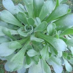 Aeonium green ballerina