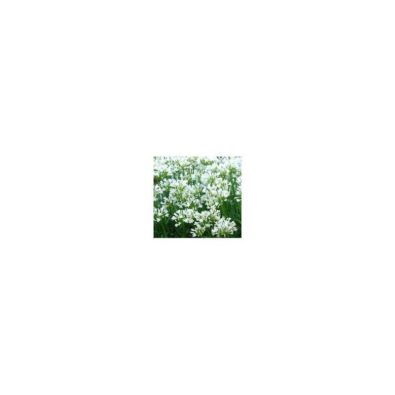 Agapanthus snow pixie
