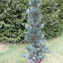 Podocarpus coraiana