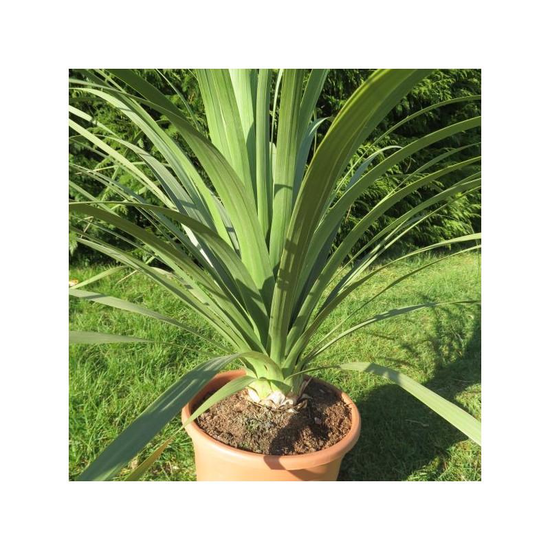 Nolina longifolia 10 l