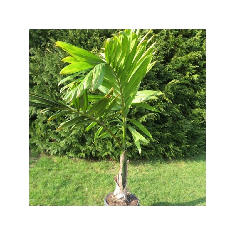 Chambeyronia macrocarpa 25 l