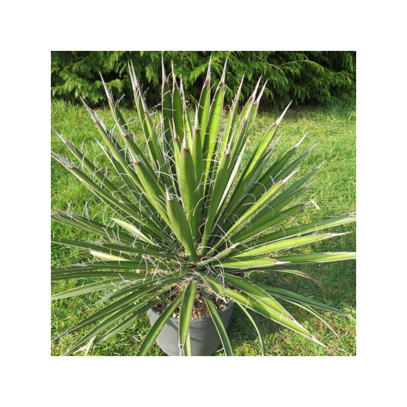 Yucca filifera 4 l (production)