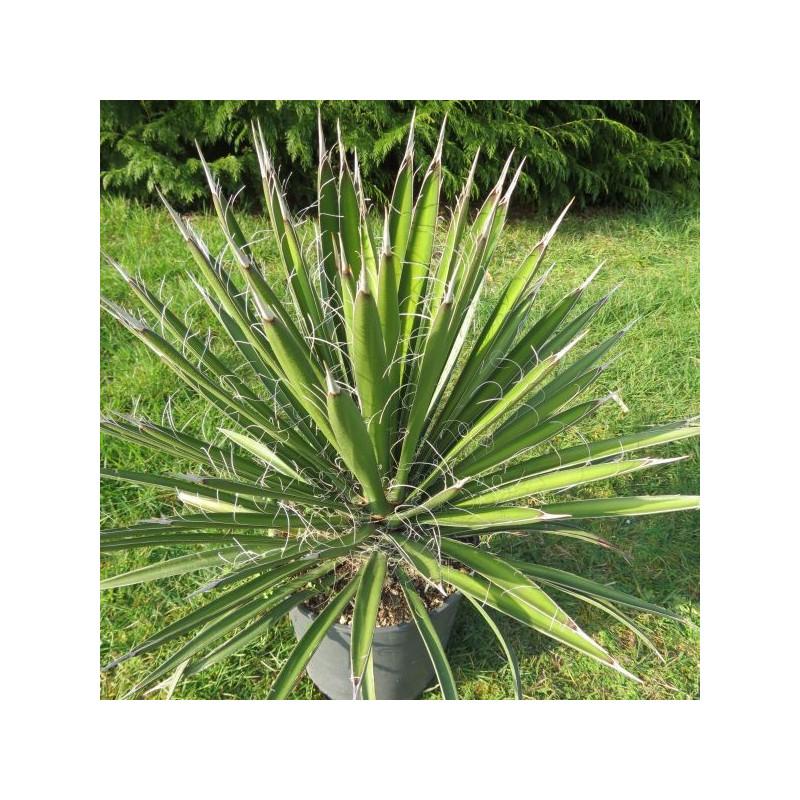Yucca filifera 4 l (production)