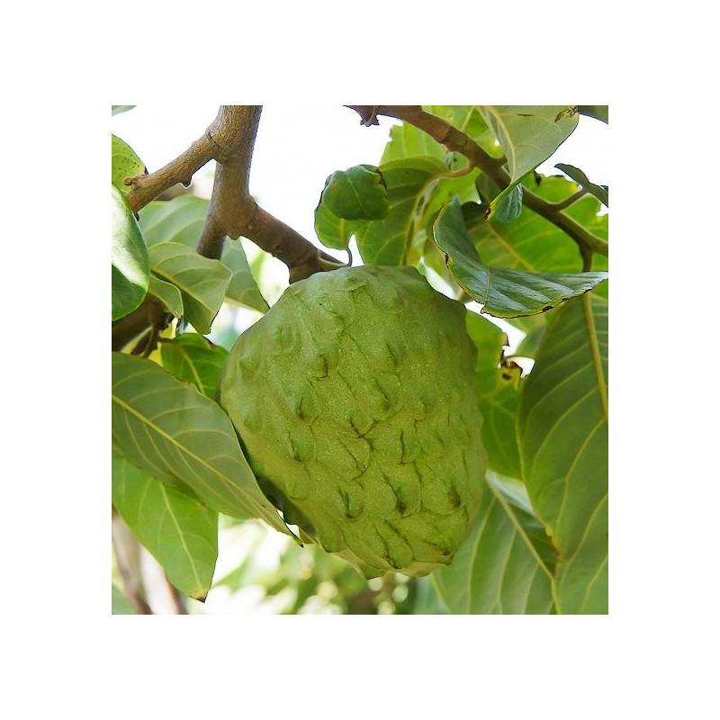 Annoma cherimola