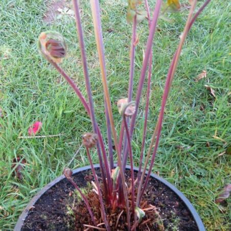 Osmunda regalis purpurescens