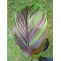 Musa sikkimensis 'Manipur' feuilles