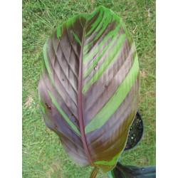 Musa sikkimensis 'Manipur'